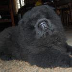 Cucciolo Chow Chow nero a pelo lungo