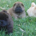 Cuccioli Chow Chow a pelo lungo nero, rosso e crema
