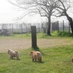 Cucciole Chow Chow a spasso in giardino