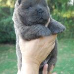 Cucciolo Chow Chow blu a 20 giorni
