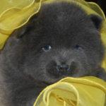 Cucciola Chow Chow blu a 17 giorni