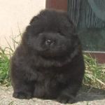 Cucciolo Chow Chow nero a 30 giorni