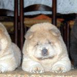 Cucciole Chow Chow cannella e nero pelo lungo